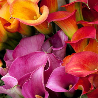 WHOLESALE CALLAS