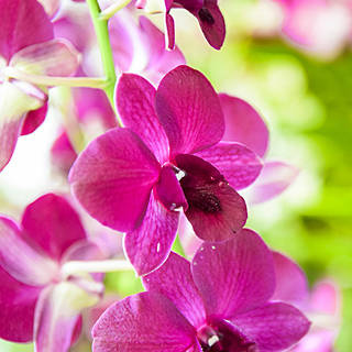 WHOLESALE ORCHIDS